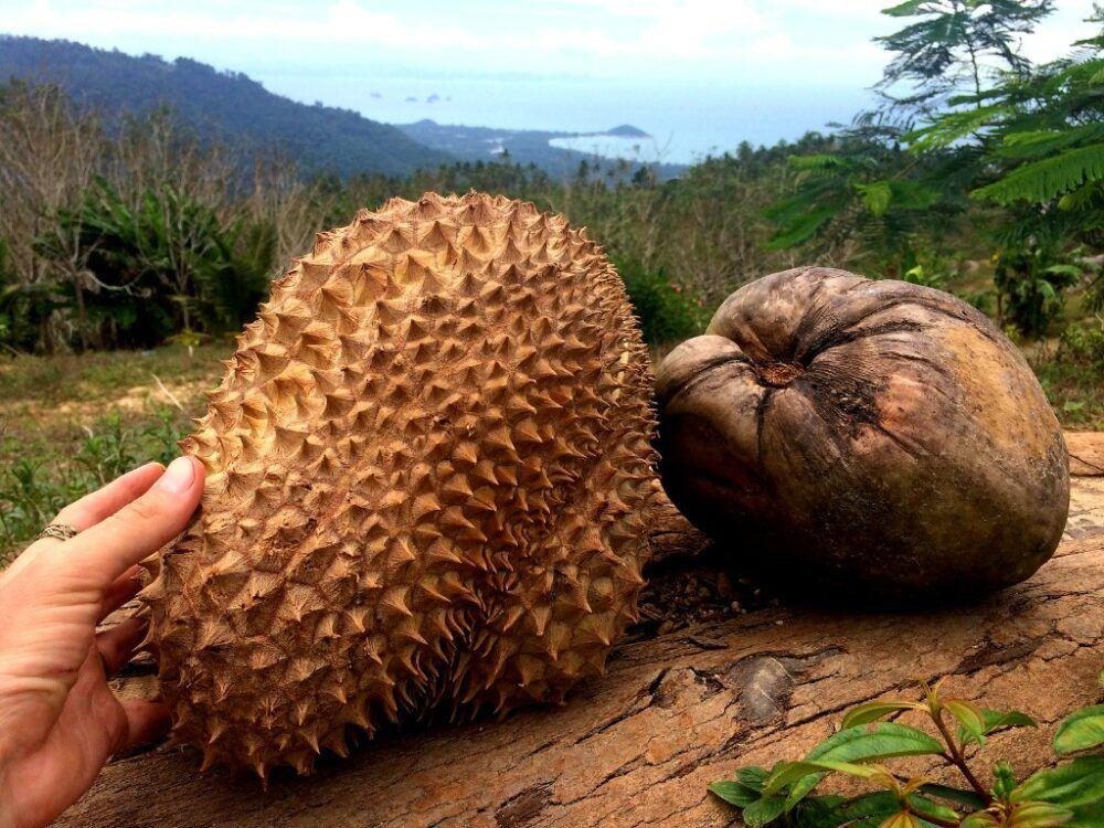 Essayez le fruit du durian