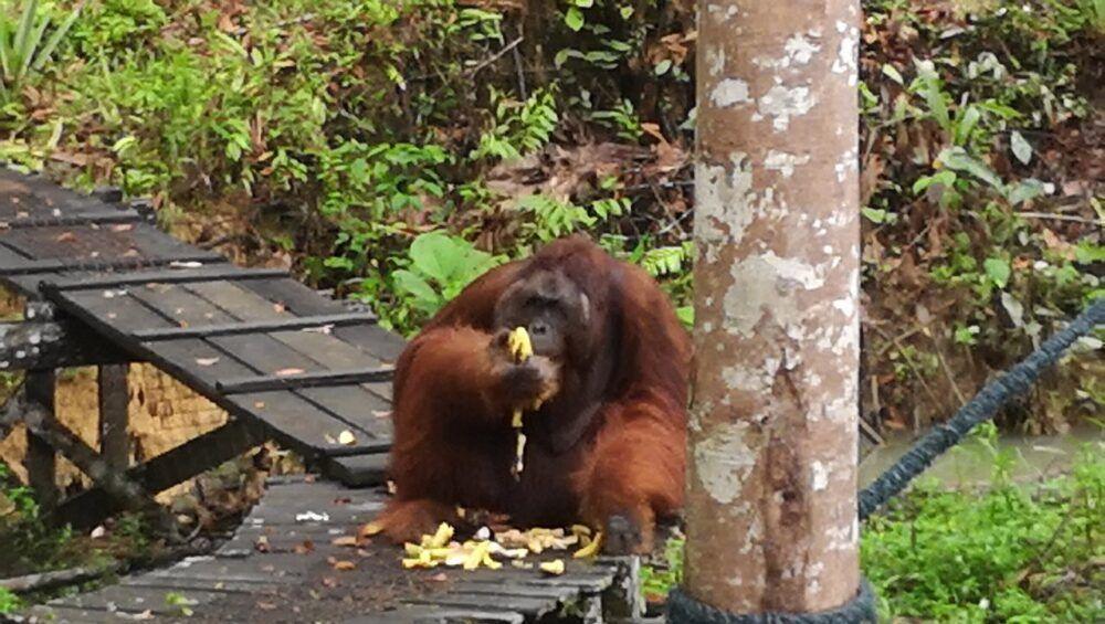 Voir des orang-outans au Semenggoh Wildlife Centre