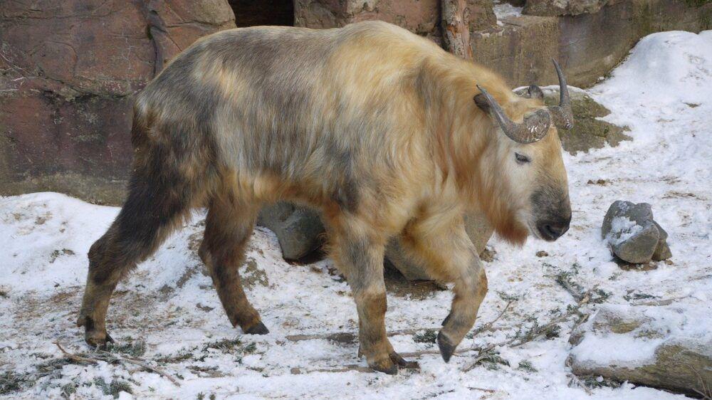 l'animal national du Bhoutan