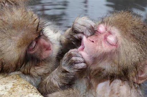 Gardez vos distances avec les singes macaques