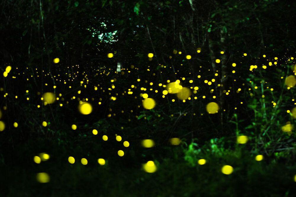 lucioles sur la rivière Iwahig